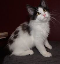 BEAUTIFUL NORWEGIAN FOREST KITTEN AVAILABLE NOW $895 Redland Bay Redland Area Preview