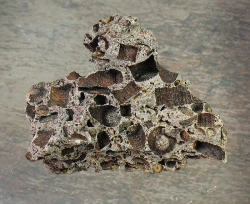 Crinoid Plate - Germany - 6.3 cm - Item 11159