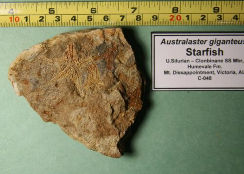 Australaster giganteus – Silurian Starfish- Victoria, AU