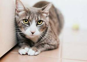 1639 : Vienna - CAT for ADOPTION - Vet Work Included