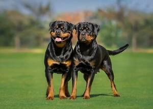Rottweiler Puppies Pup Puppy PEDIGREE