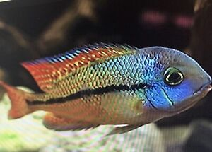 African Cichlids Fry Juvenile and Adults
