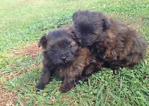 Pomapoo puppies Gympie Gympie Area Preview