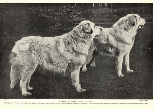 1930s Antique GREAT PYRENEES Dog Print Champion Thora Great Pyrenees  3331-E