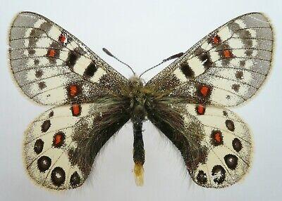 Entomology Indonesia Artwork Papilio blumei Real Butterfly  X1 specimen A1