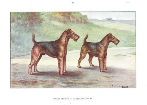 1930 Art Watercolor Castellan France Dog Portrait Print LAKELAND WELSH TERRIER