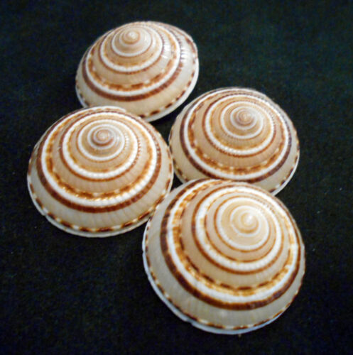 "6 Small Sundial Shells Seashells 3/4-1 1/4"" Ocean Arts & Crafts Beach Decor"
