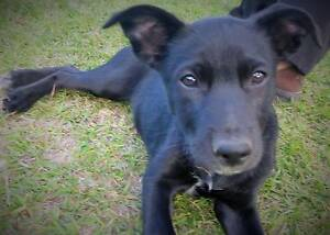 Purebred Kelpie Pup - Last available Woodford Moreton Area Preview