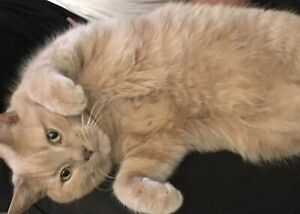 Benny (Orange Tabby) - FREE TO A GREAT HOME