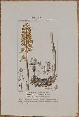 TURPIN EPIPATTIDE NIDO D'UCCELLO EPIPACTIS NIDUS AVIS ORCHIDEE ORCHIS FIORI 1831