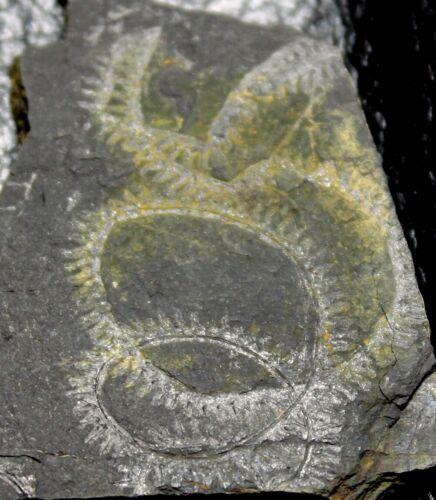 Oktavites sp - Nice, big Silurian Wenlockian spiral graptolite