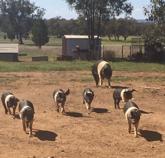 Wessex Saddleback Piglets Dubbo 2830 Dubbo Area Preview