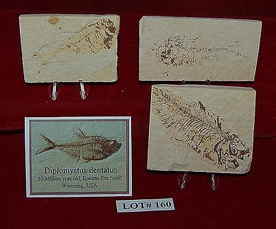 Fossil Fish DIPLOMYSTUS 50 Million Year Old 3 Plaques+Stands+ID Card Lot#160