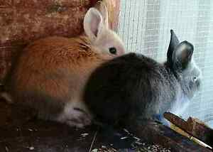 Baby rabbits for sale. Golden Square Bendigo City Preview