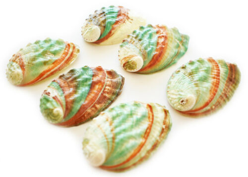 """6 Russian Abalone Shells (2.5-3"""") Smudging Beach Cottage Decor Nautical Crafts"""
