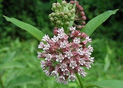 Common Milkweed Seeds, Attract Monarch Butterflies, Native Wildflower, Easy (Grow Wildflowers)