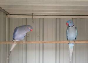 Indian Ringneck Breeding Pair Mango Hill Pine Rivers Area Preview