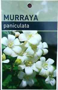 Murraya moke orange - orange jasmine - hedges/ screens Cedar Creek Gold Coast North Preview