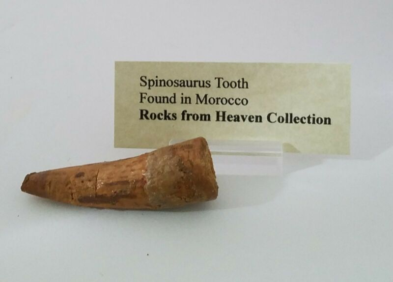 Spinosaurus tooth 57 mm.