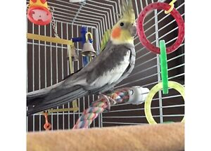 Male cockatiel looking for new home