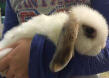 Gorgeous pure bred baby bunnies South Penrith Penrith Area Preview