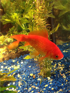"""gros poissons rouges 4""""-5"""""""