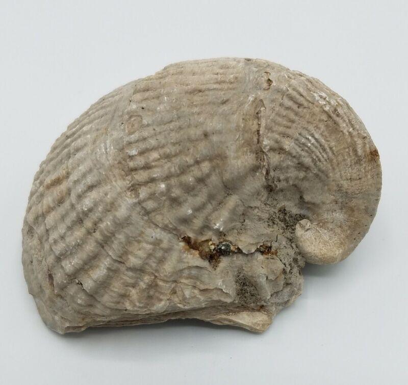 Exogyra costata Bivalve Fossil NJ Upper Cretaceous Mollusk Gryphaeidae Gryphaea
