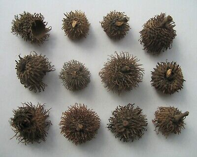 Lot of 12 Mossy Oak Tree Acorn Caps Furry Fuzzy Pods Botanical Botany Nut Seed