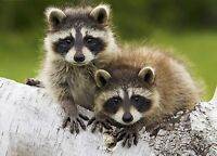 Need help getting rid of family of 3 Racoons