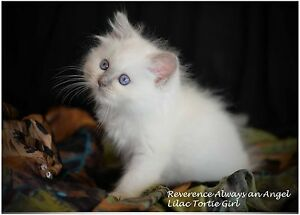 Gorgeous Lilac Tortie Ragdoll female Waurn Ponds Geelong City Preview