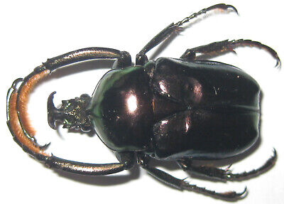 Cetoniinae Neoscelis dohrni Male A1 (MEXICO)