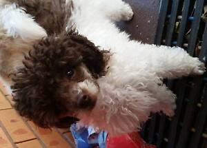 Parti Toy poodle puppy - Reluctant sale Maitland Maitland Area Preview