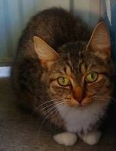 RESCUED cat - desexed, microchipped, wormed, flea treated. Waratah Newcastle Area Preview