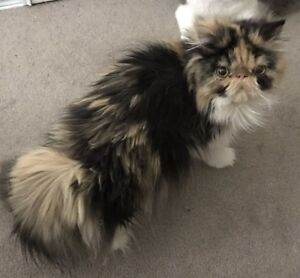 Persian cats for sale edmonton