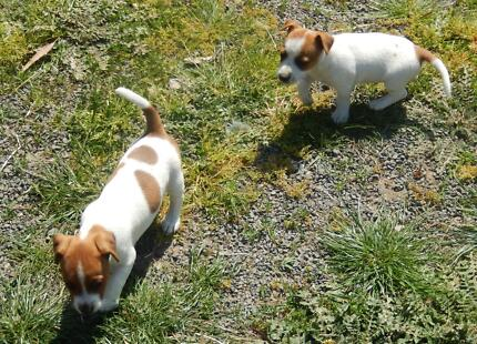 Jack Russell pups. Beaufort Pyrenees Area Preview