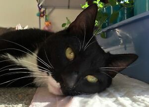 RESCUE CAT - OLIVER - ALL VETWORK DONE Angaston Barossa Area Preview