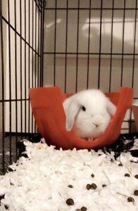 Holland flop dwarf bunny