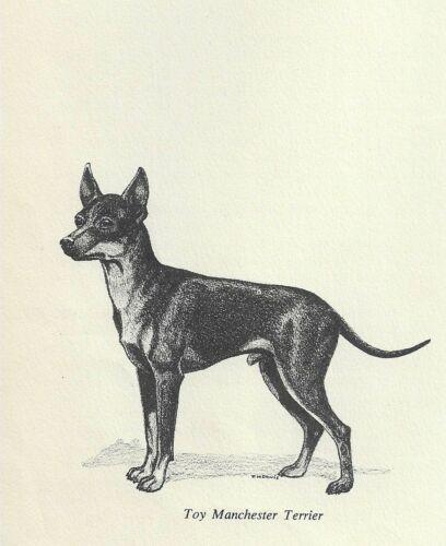 Manchester Terrier - 1964 F.W. Davis Vintage Dog Print - Matted
