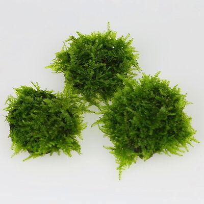 2x TAIWAN Moss STONE PAD - Live aquarium fish tank plants low light tropical