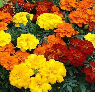French Marigold mix 250 seeds Tagetes patula * Garden Border * CombSH B85