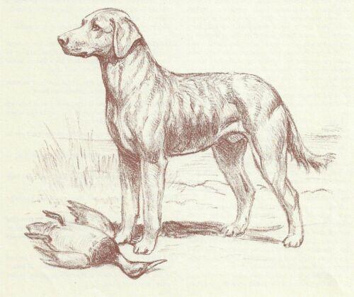 Chesapeake Bay Retriever - Vintage Dog Print - 1954 Megargee