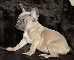 BLUE & BLUE FAWN FRENCH BULLDOG PUPS