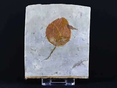 Highly Detailed Zizyphoides Flabellum Fossil Plant Leaf Paleocene Age MT Stand