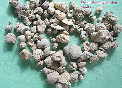 100 tiny snail fossils..Pennsylvanian period from Texas