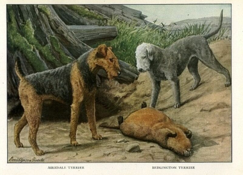 Airedale Terrier AND BEDLINGTON TERRIER KILL LARGE RODENT 1919 RARE Art Print
