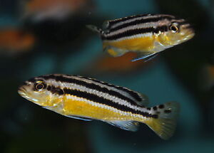 Melanochromis Auratus ** Golden Mbuna ** Malawi cichlid eBay