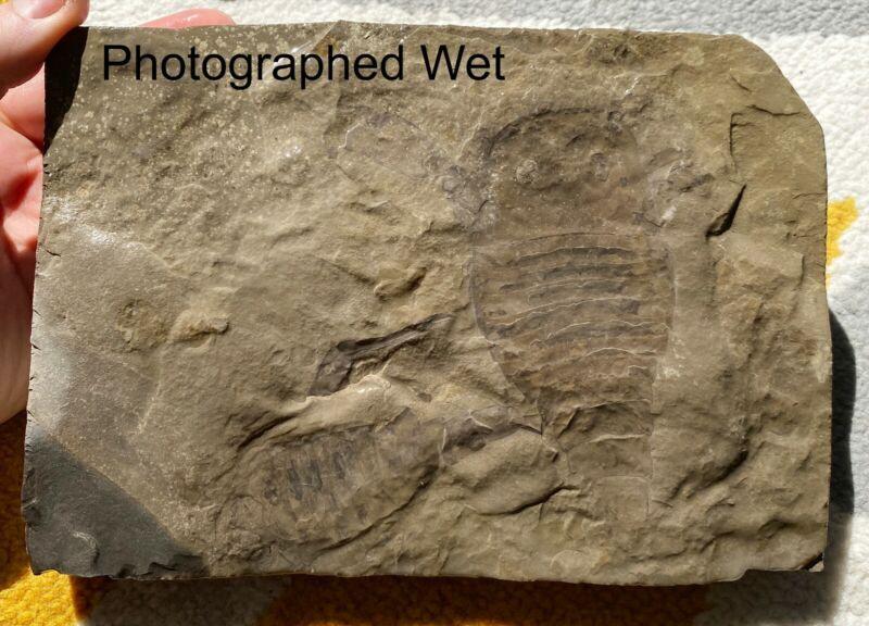 Double Silurian eurypterids from bertie fm, new york - eurypterus remipes