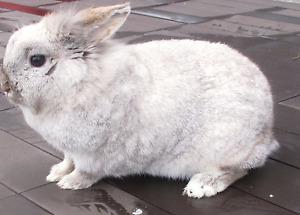 """Female Rabbit """"Cotton""""   VANDERHOOF"""
