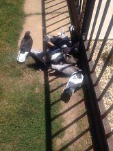 Pigeons for sale Wangaratta Wangaratta Area Preview