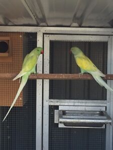 A Breeding Pair of Healthy Indian Ringnecks for Sale. Ingleburn Campbelltown Area Preview
